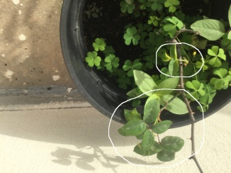 New rose plant