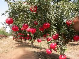 pome-trees